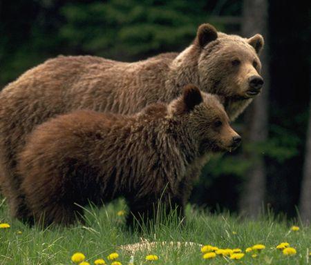 qué_hacer_en_Canadá_osos